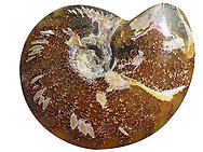 Whole Polished Ammonites with Suture Patterns, 13-15cm